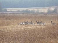 polowanie-na-daniele-034